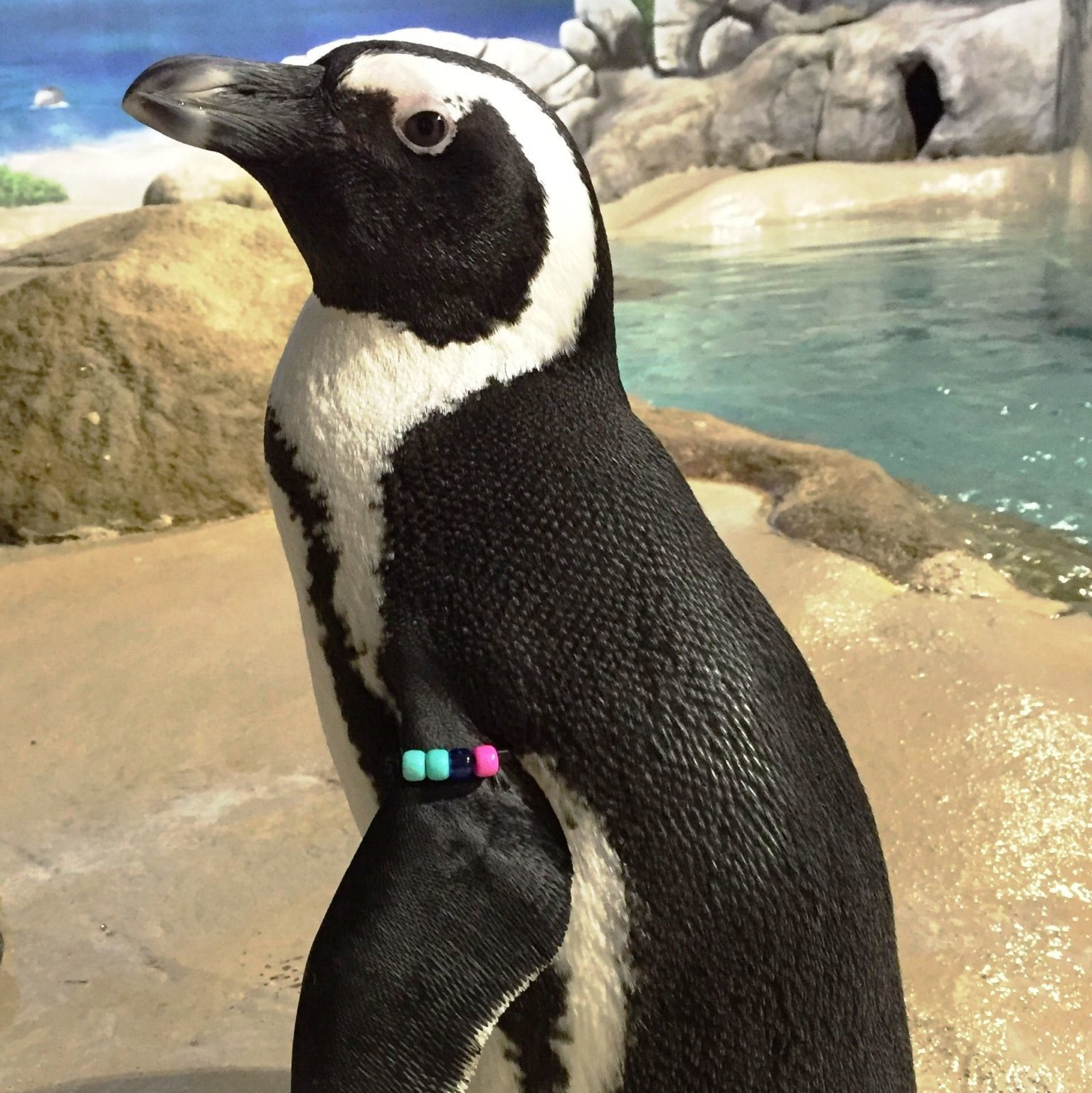 jenkinsons-aquarium-african-penguin-betty