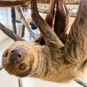 wally the sloth at jenkinson's aquarium