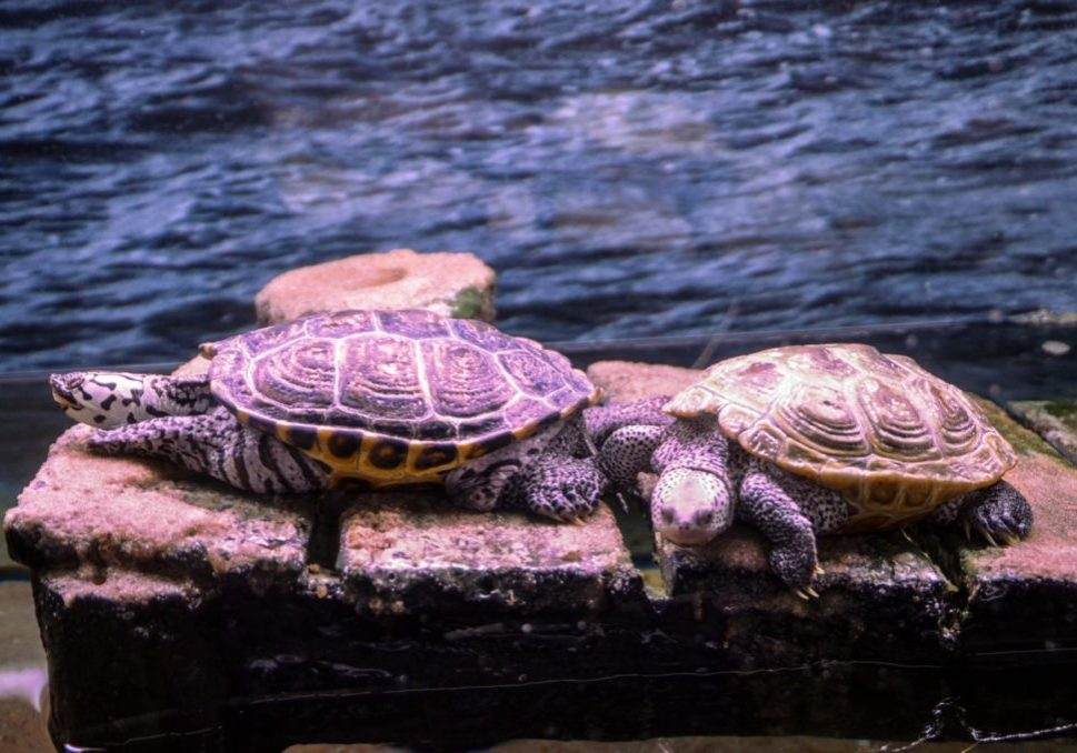 jenkinsons-aquarium-two-turtles